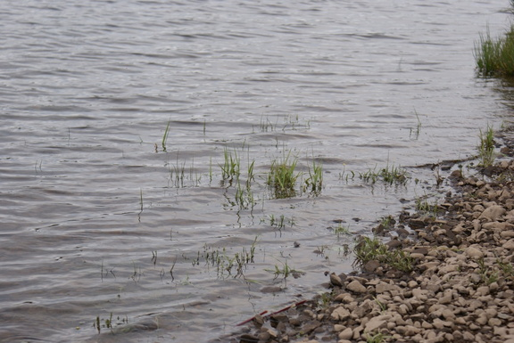 Grass in Loch Ken