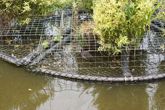 Moorhen in a cage