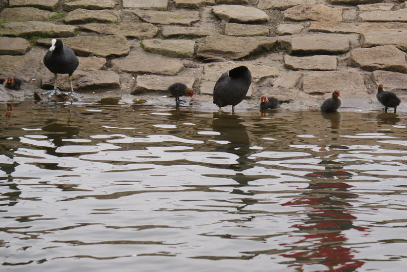 Coots and family