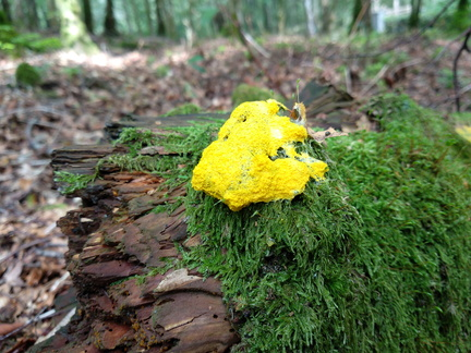 Yellow fungus.jpg